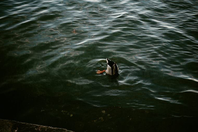Duck Photo in Madison Wisconsin