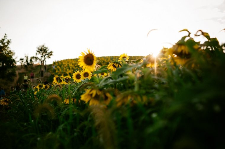 Sunflowers, Our Madison Life, Madison Wisconsin Photographer